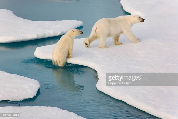 Two polar bears climbing out of water.