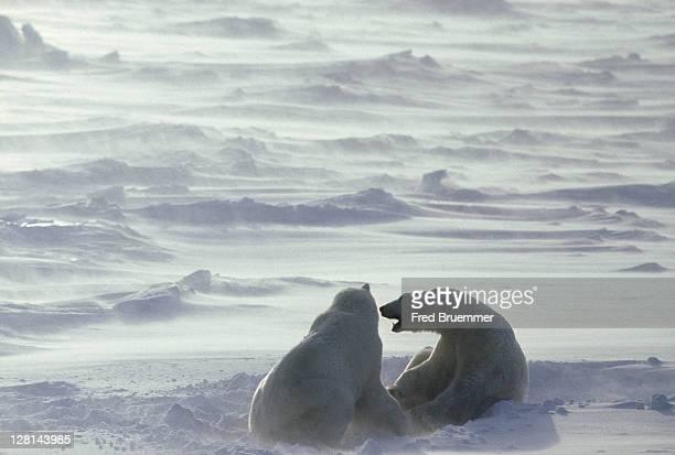 Two Polar Bears in snowstorm