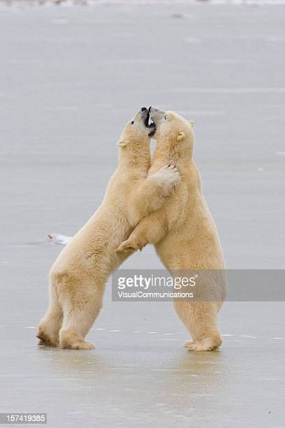 Two polar bears interacting.