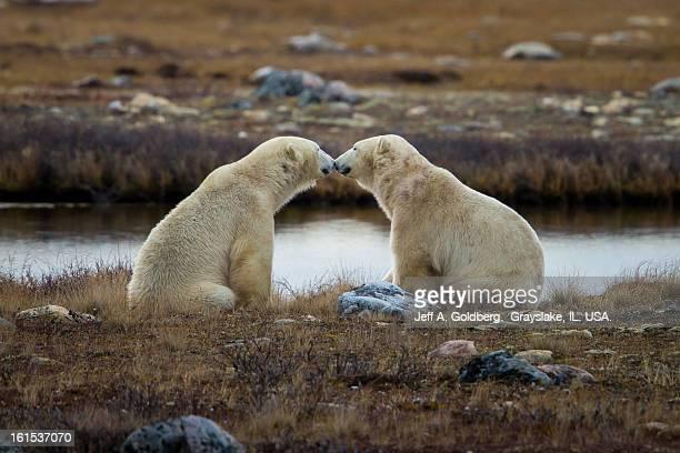 Two Polar Bears Nose-to-Nose