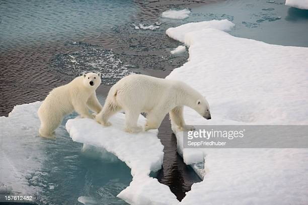 Two polar bears on a small ice floe in the water