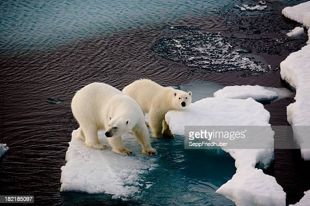two polar bears on a small ice floe - poolklimaat stockfoto's en -beelden