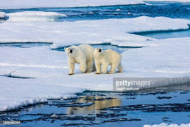two polar bears on ice floe surrounded by water. - poolklimaat stockfoto's en -beelden