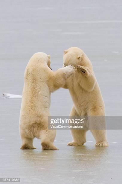 Two polar bears on ice.