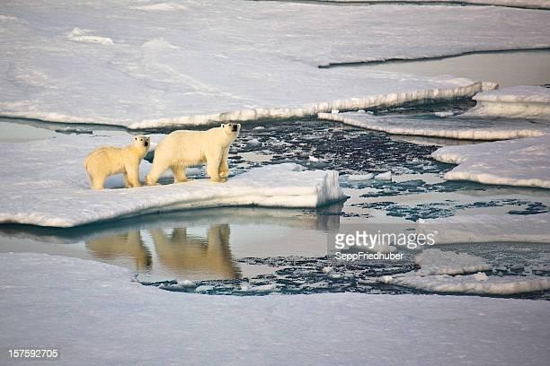 Zwei Eisbären auf Packeis