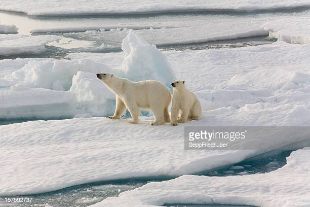 Two polar bears on pack ice
