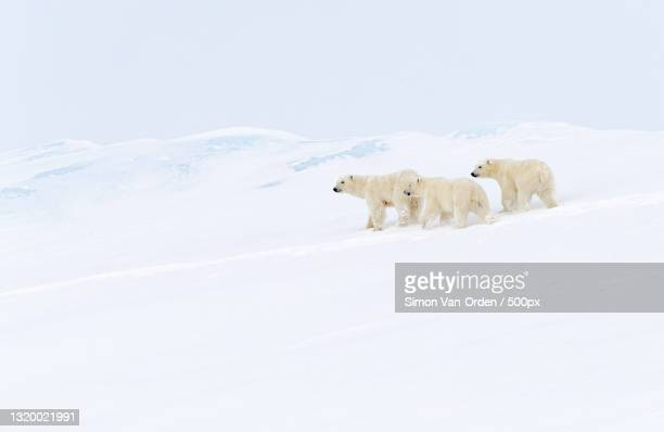 two polar bears play fight,baffin island,canada - canada stock pictures, royalty-free photos & images