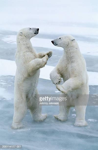 two polar bears (ursus maritimus) standing on hind legs, playing - dancing bear immagine foto e immagini stock