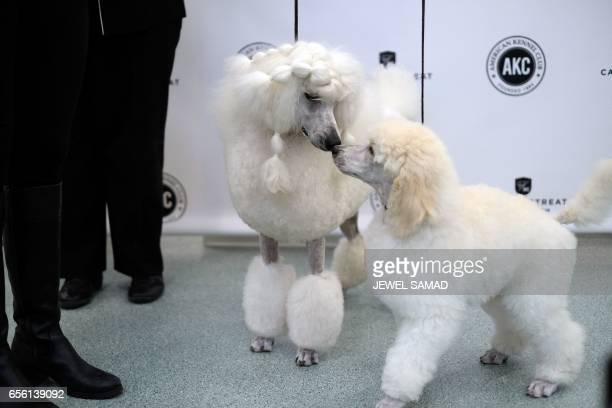 Two poodles are pictured during a press conference by the American Kennel Club in New York on March 21 to announce America's top ten most popular...
