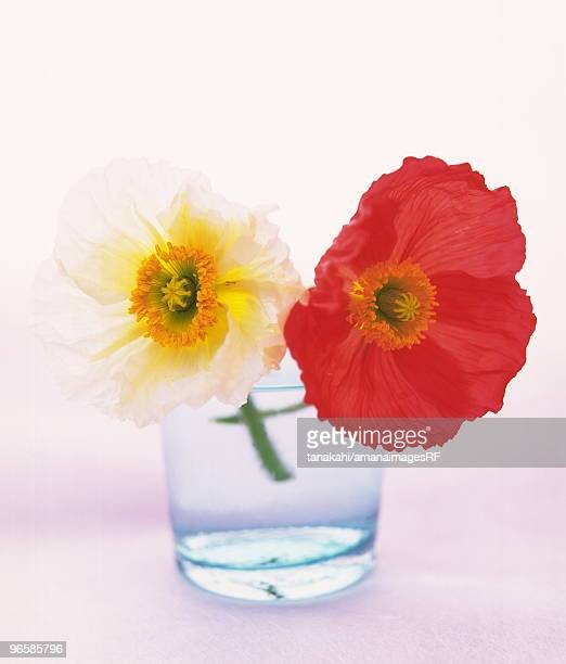 Two poppies in glass of water, white background