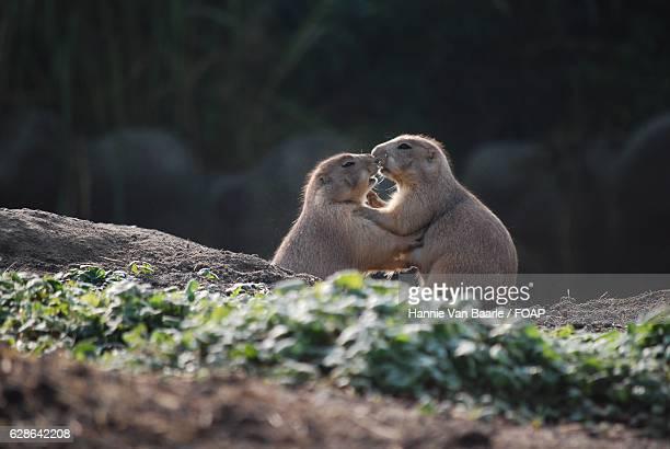 Two prairie dog kissing