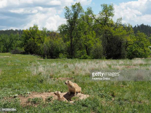 two prairie dogs along a trail near devils tower, wyoming - prairie dog stock pictures, royalty-free photos & images