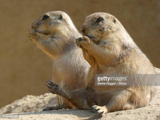 two prairie dogs eating - prairie dog stock pictures, royalty-free photos & images