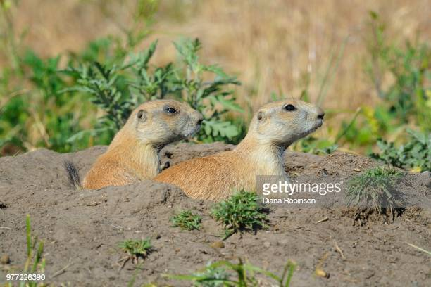 two prairie dogs in burrow, valentine, nebraska, usa - prairie dog stock pictures, royalty-free photos & images