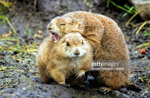 Two Prairies Dogs In The Wild