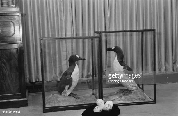 Two preserved specimens of Great auk flightless birds mounted in display cases with eggs at a museum 31st March 1971 The Great auk species was...