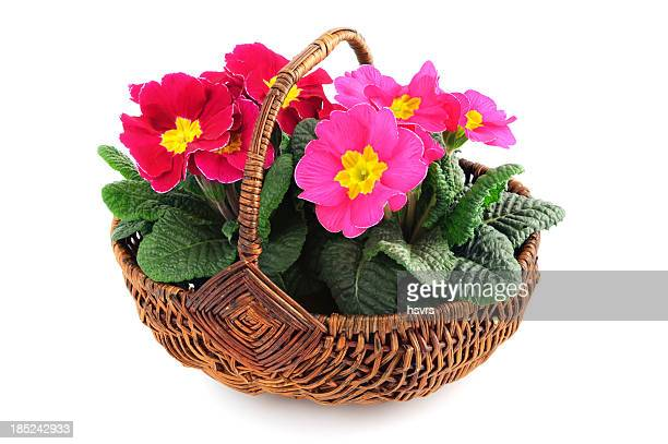 two Primrose (Primula) in basket white background