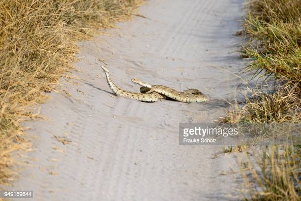 Two puff adders (Bitis arietans) mating on a path in the Central Kalahari Game Reserve, Botswana