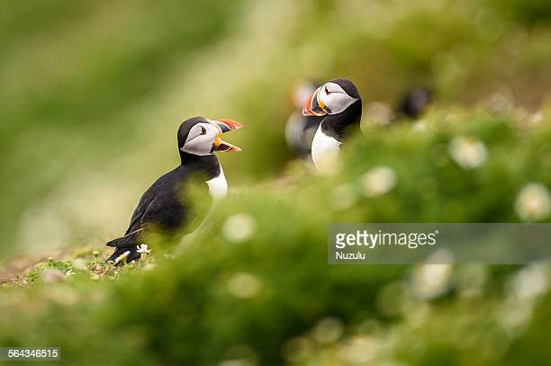 Two puffins appearing to talk, Skomer Island