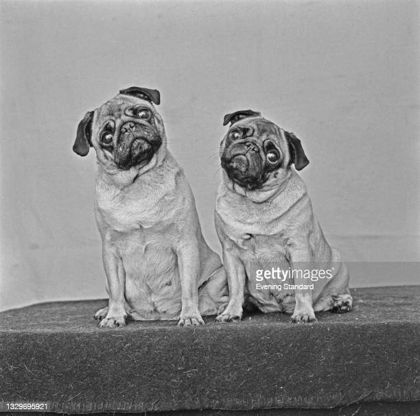Two pug dogs at the Crufts Dog Show at Olympia, London, UK, 5th February 1965.