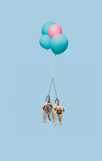 Two pug dogs floating with balloons - gettyimageskorea