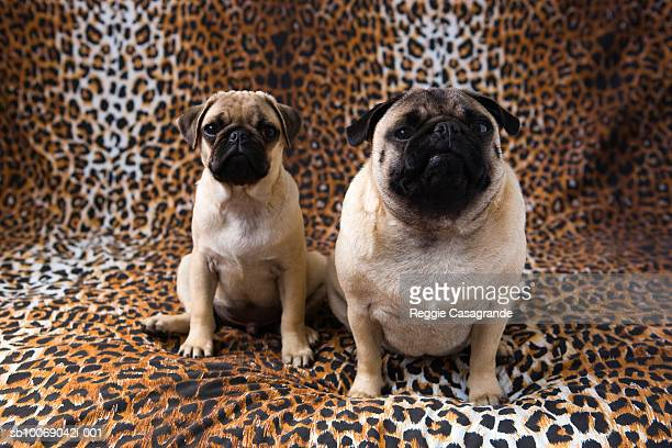 Two Pug dogs sitting against animal print background