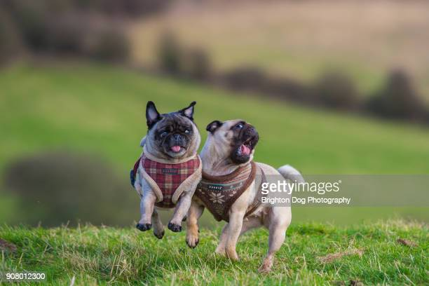 two pugs playing together - dos animales fotografías e imágenes de stock