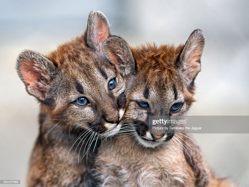 Two puma babies very close : Photo
