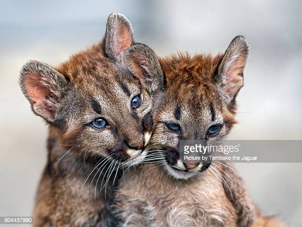two puma babies very close - puma stock photos and pictures