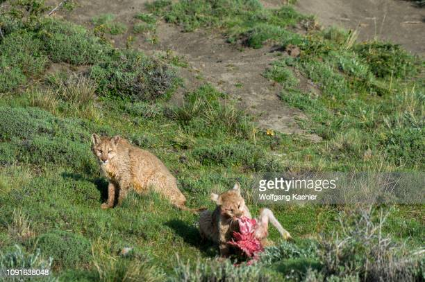 Two Puma cubs about 6 months old feeding on a Guanaco baby kill in Torres del Paine National Park in Patagonia Chile