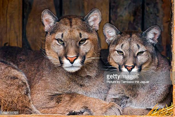 two pumas together - puma stock photos and pictures