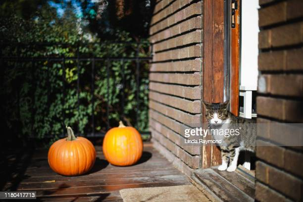 two pumpkins and a cat on a porch - linda wilton stock pictures, royalty-free photos & images