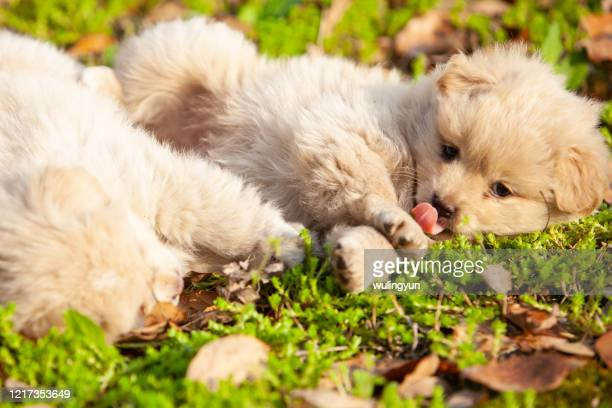 two puppies playing each other - paw stock pictures, royalty-free photos & images