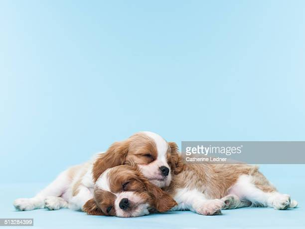 Two Puppies Sleeping on Eachother