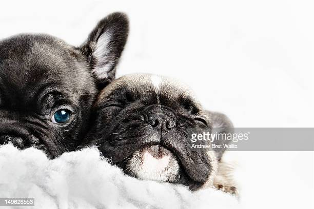 Two puppies snuggled up together in a white fleece