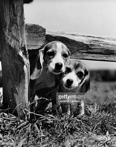 two puppies standing below fence - mamífero con garras fotografías e imágenes de stock