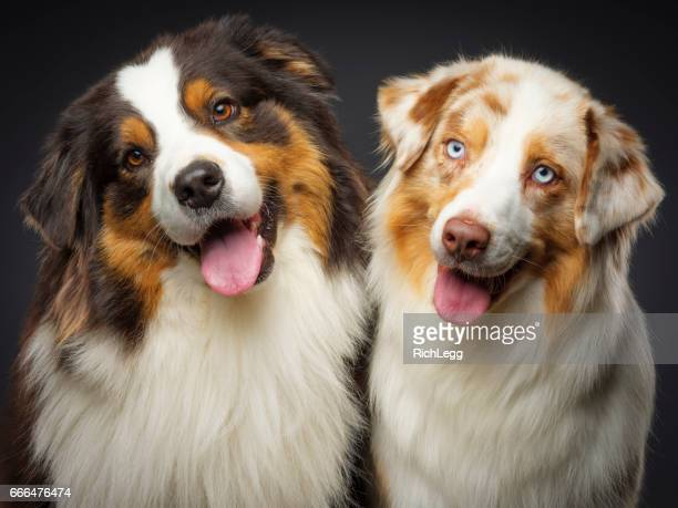 Two Purebred Australian Shepherd Dogs