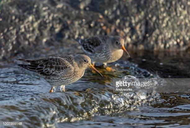 zwei lila sandpiper - meerlandschaft stock-fotos und bilder