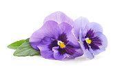 Two purple violets.