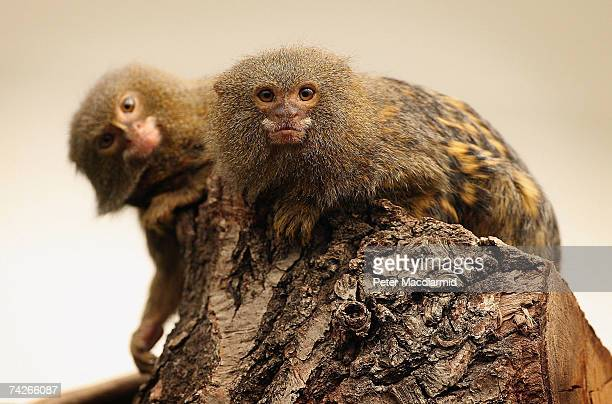 Two Pygmy Marmosets sit in a tree at London Zoo's new exhibit 'The Clore Rainforest Lookout' opens on May 24 2007 in London The new 21 million...