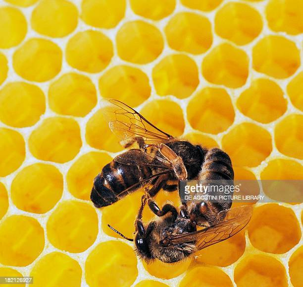 Two queen bees fighting Apidae