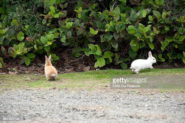 two rabbits at cannon beach oregon state usa - rabbit beach stock photos and pictures