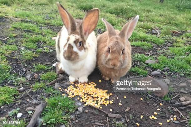 Two rabbits eat corn