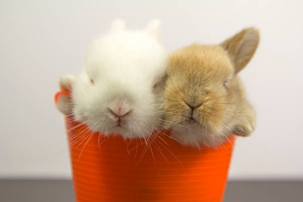 Two rabbits inside a basket