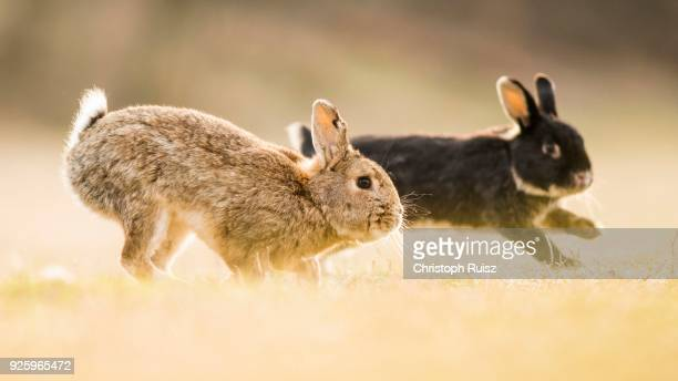 two rabbits (oryctolagus cuniculus), playing, crossing with domestic rabbit (oryctolagus cuniculus forma domestica), lower austria, austria - forma stock pictures, royalty-free photos & images