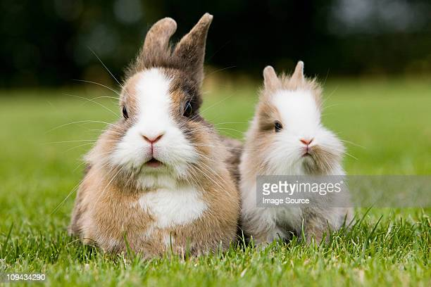 two rabbits sitting on grass - lagomorphs stock pictures, royalty-free photos & images