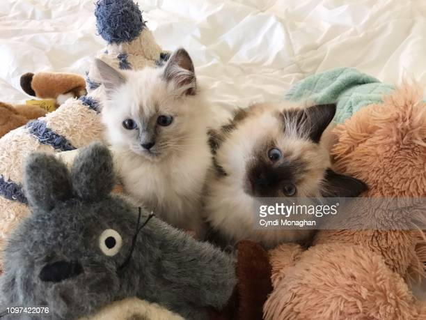 two ragdoll kittens hiding in a pile of stuffed animal toys - ragdoll cat stock pictures, royalty-free photos & images