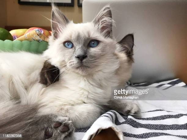 two ragdoll kittens snuggling next to a laptop - ragdoll cat stock pictures, royalty-free photos & images