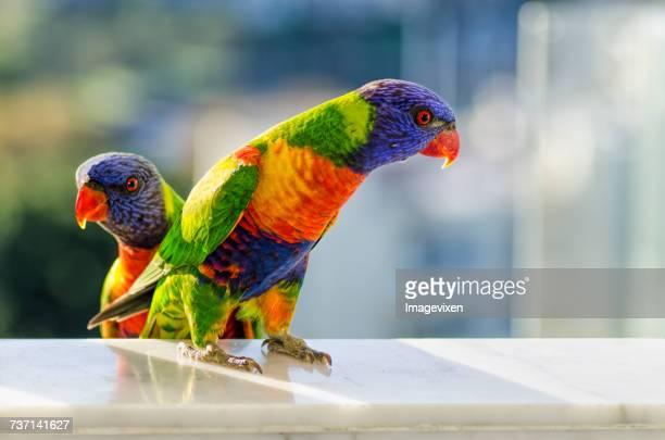 Two Rainbow Lorikeet birds (Trichoglossus moluccanus), Australia
