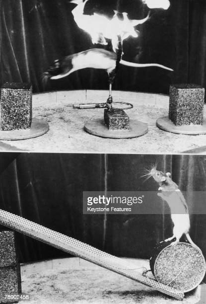 Two rat performers at Henry Gugelmann's 'Circus Maus' in Hamburg 27th September 1979 One jumps through a ring of fire while the other rolls a drum...